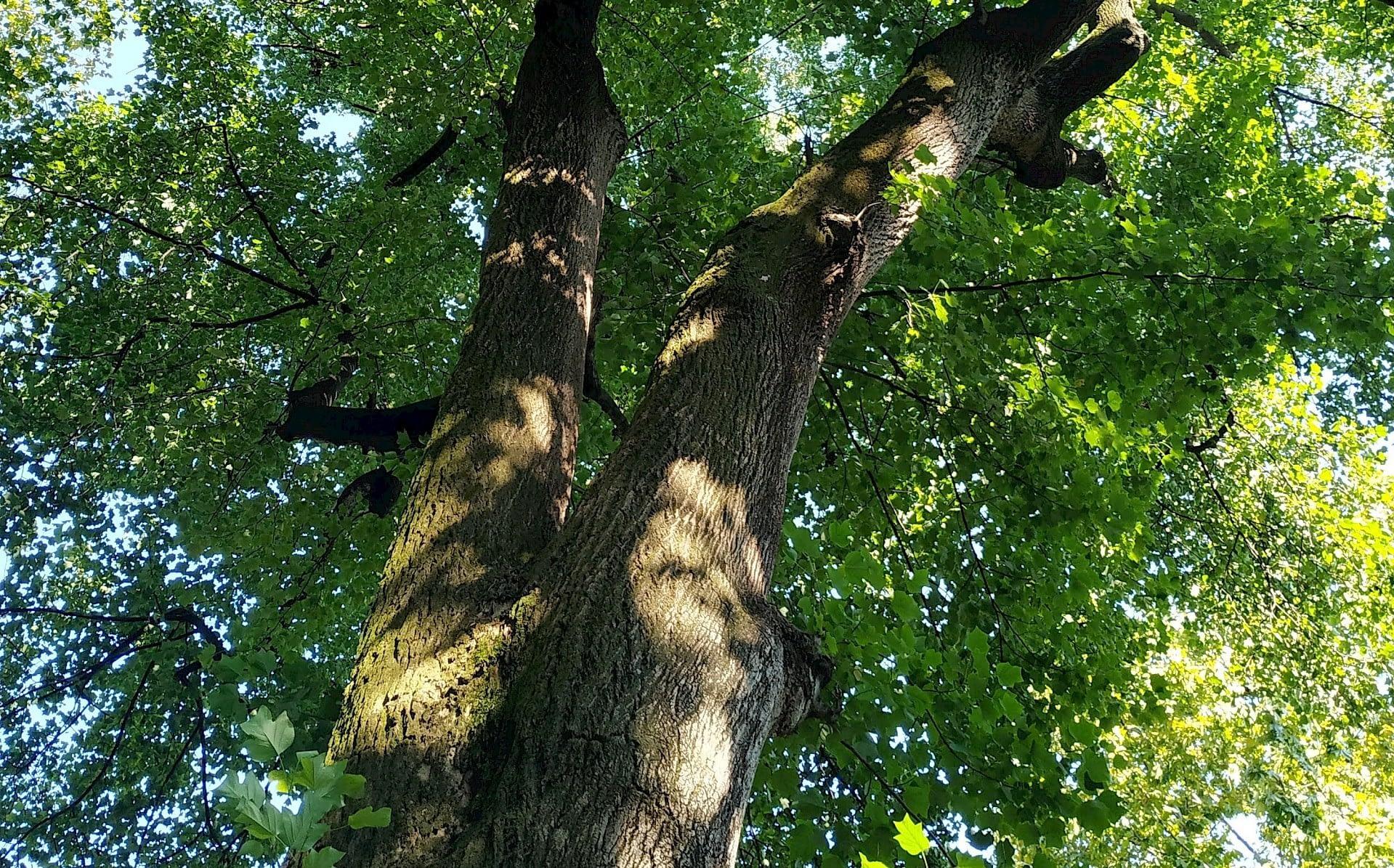 alberi villa carlotta