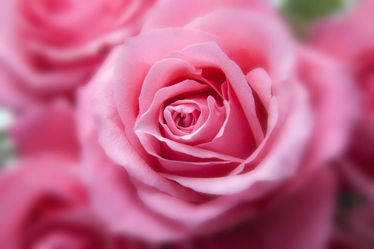 """XVI Concorso """"La più bella e la più profumata rosa da giardino"""""""