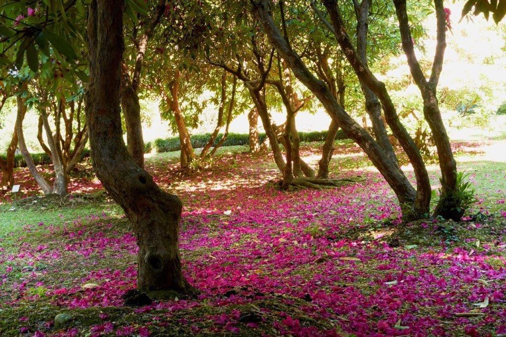 Il Bosco da favola dei Rododendri Villa Carlotta